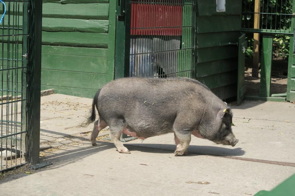Amsterdam with kids - Kinderboerderij De Werf Kids Petting Zoo - Pig