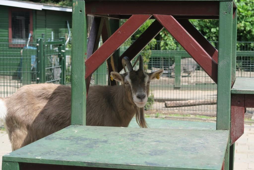Amsterdam with kids - Kinderboerderij De Werf Kids Petting Zoo - Goat